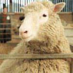 Clonazione, Coldiretti: orrore annunciato dopo la pecora Dolly a tavola