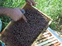 Ue: La Toscana porta in Commissione l'allarme per il miele cinese