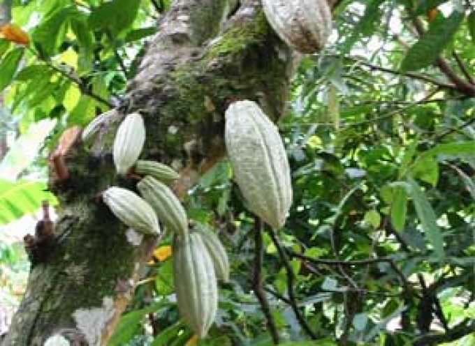 Vietnam, Cacao al posto di mine: la sfida di Roots of Peace