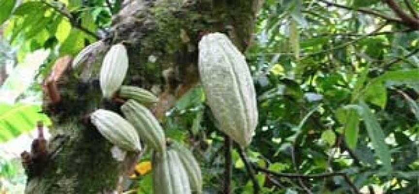 Il cacao aiuta gli ipertesi