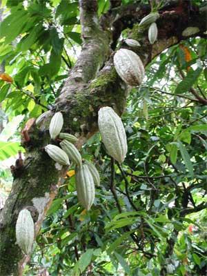 Costa d'Avorio, stop per un mese alle esportazioni di cacao