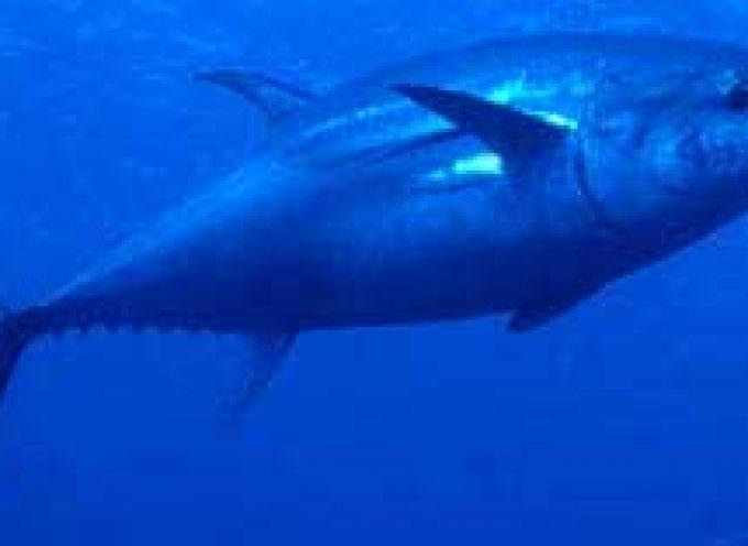 Piano di ricostituzione dello stock di tonno rosso