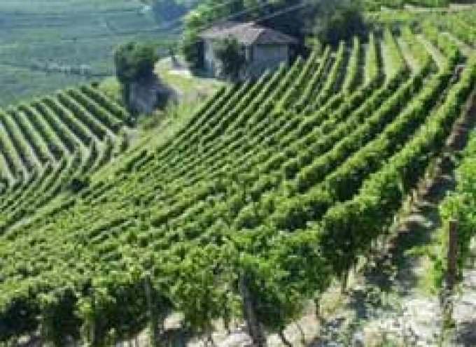"""Caldo, Coldiretti: """"La vendemmia anticipa di 10 giorni con il 60% vino Doc"""""""