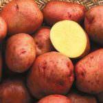"Arriva la ""Golden Potato"""