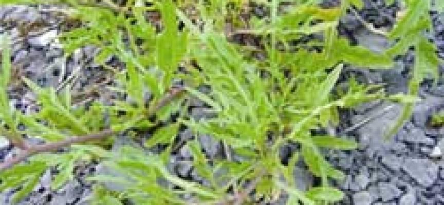 Ruchetta – Rucola Selvatica