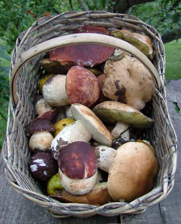 Coldiretti. Dal maltempo di questi ultimi giorni non solo danni ma anche funghi.