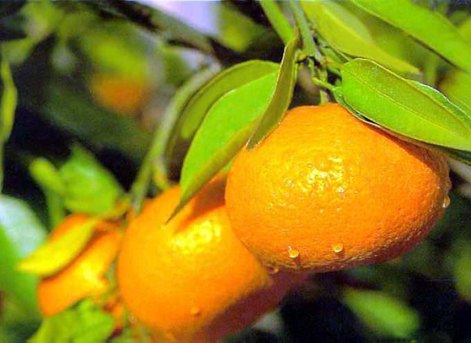Agricoltori alla UE, fermare le conserve di mandarino cinese