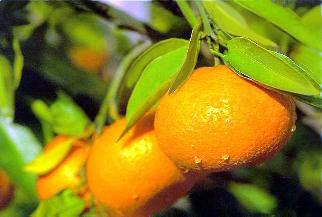 I mandarini contro obesità, diabete ed arteriosclerosi
