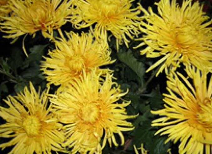 Assofioristi-Confesercenti: 2 novembre, stabili prezzi e consumi di fiori