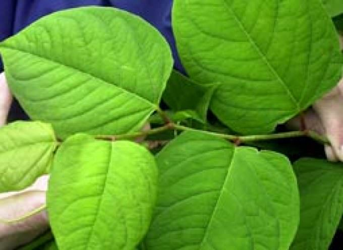 Japanese insect could halt British invasion by Japanese knotweed plant