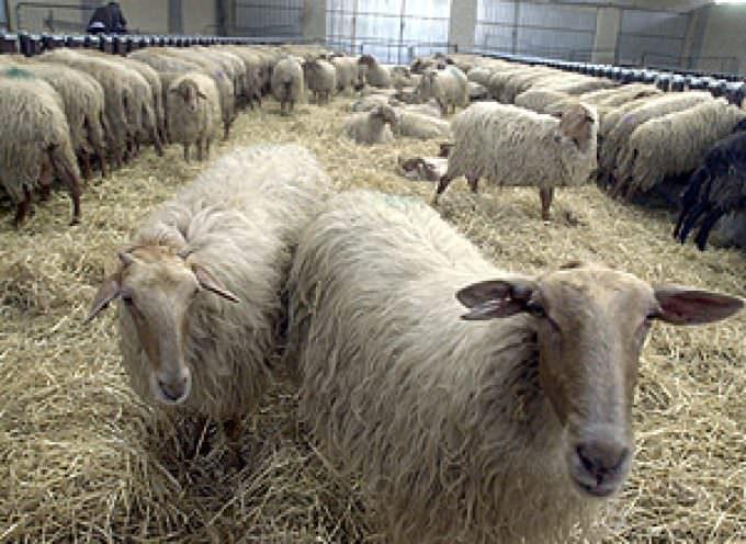Sempre più pressante la protesta dei pastori