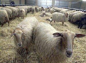 Ovejas y cabras podrían transmitir también el mal de las 'vacas locas'
