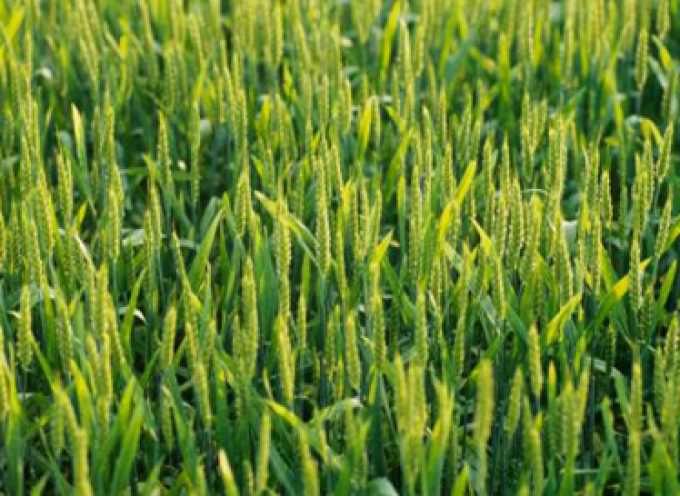 Prezzi: Coldiretti, allarme semine. Grano più basso di 20 anni fa