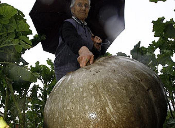 España: cultiva una calabaza de más de cien kilos en Compostela