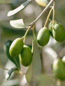 """Cia: emergenza per l'olivicoltura """"made in Italy"""""""