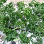 Maltempo, i danni più gravi alle coltivazioni in piena aria