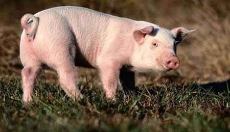 Germania, venduti maiali nutriti con mangimi alla diossina