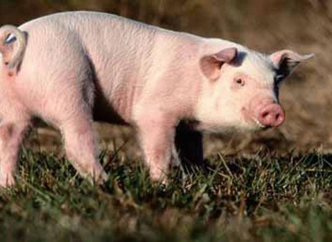 Se non ami la carne di maiale è colpa del DNA