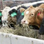 Allevamenti bovini in crisi, Cia: serve subito un Piano di settore