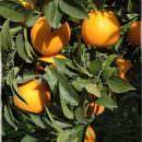 Agroalimentare Made in Italy, le arance calabresi prodotto d'eccellenza