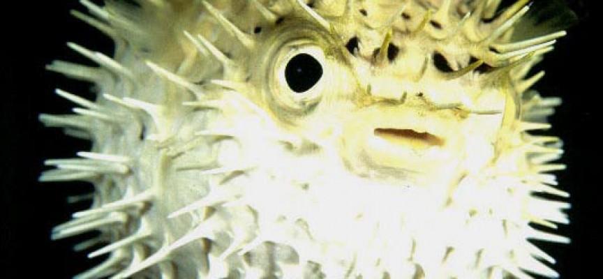 Il pesce palla quando il rischio in tavola for Pesce palla immagini