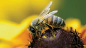 Caffeina e nicotina: un'attrazione anche per le api