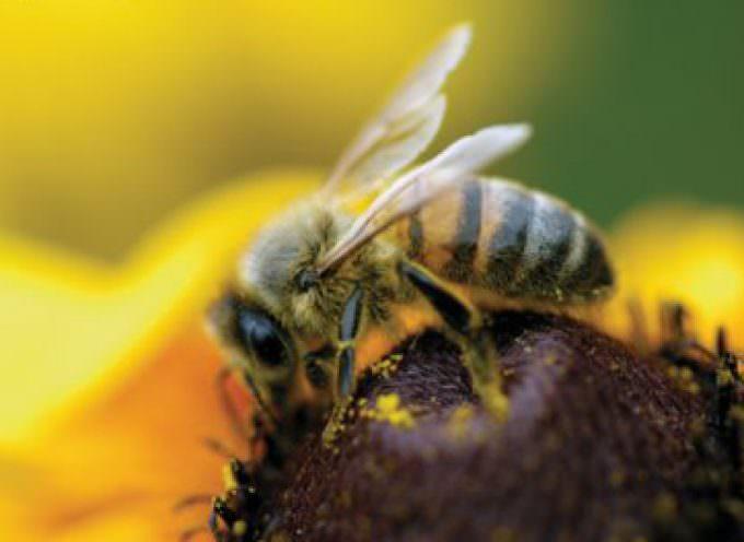 Dal veleno delle api, una cura per l'artrite