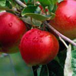 Agroalimentare, Cnr: il freddo salverà dall'estinzione antiche varietà di meli