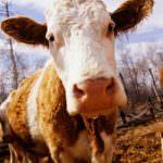 Lo studio: le mucche chiamate per nome producono più latte