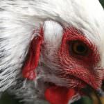 Pollo di soia per una dieta vegetariana