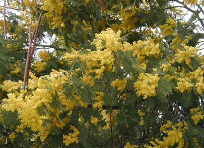8 marzo, Coldiretti: 15 milioni di mimose puntuali e a prezzi contenuti