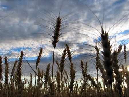 Caldo: Coldiretti, +20% prezzi grano in 15 giorni