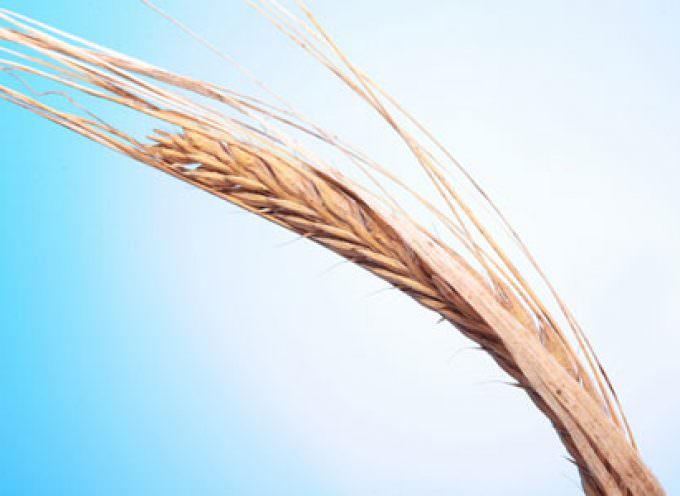 Crisi del mercato dei cereali: i produttori di grano duro e mais sono ormai al collasso