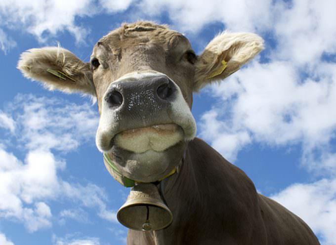 Vacca maltrattata: Sei mesi di reclusione, 6.000 euro di multa e sospensione dell'attività di trasporto
