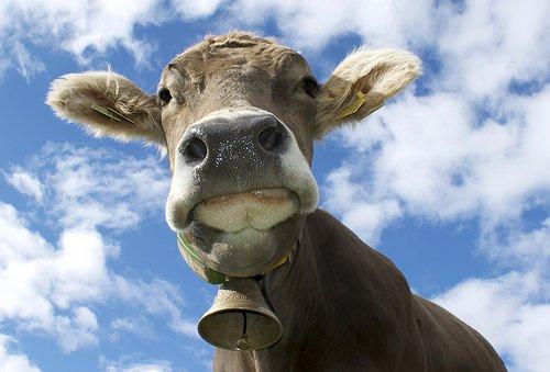 Torna la mucca pazza? Addirittura l'orata pazza?