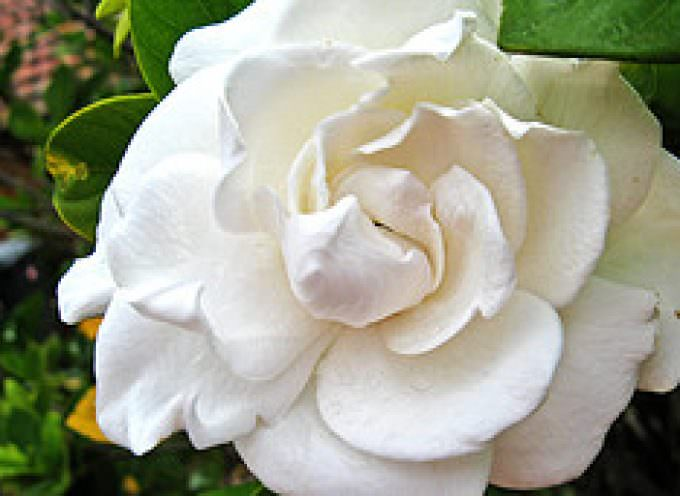 Lombardia: Una Gardenia per la Festa della Donna