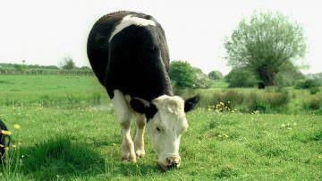 Mucche, la frisona è la più efficiente ed ecologica