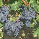 Piemonte: Oltre 200 produttori vitivinicoli partecipano al Convegno sulla Nuova Ocm vino