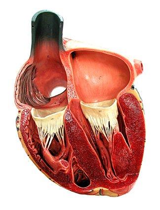 Hcn4, il gene pacemaker che regola il cuore
