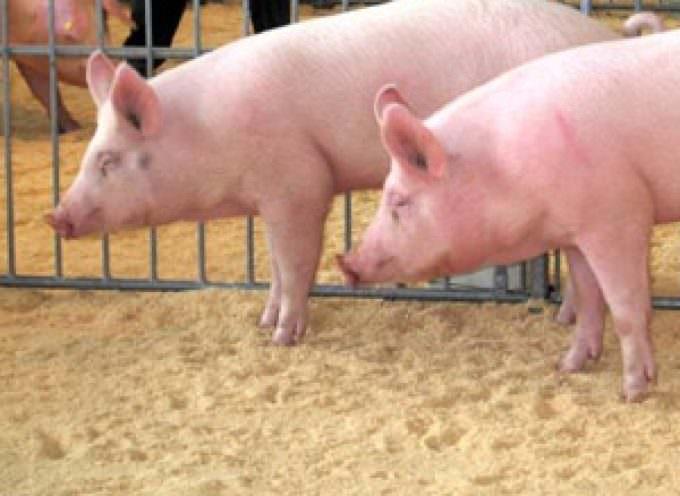 Nuova influenza: allevatori in piazza in tutta Italia per salvare le stalle italiane