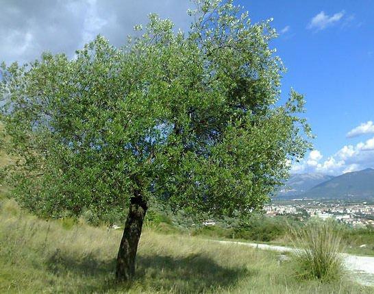 Campionato regionale di potatura dell'olivo