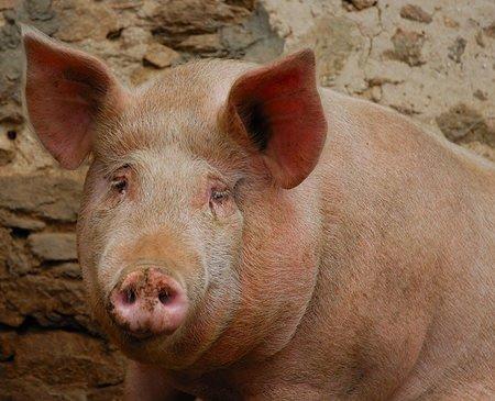 Germania, alti livelli di diossina nei maiali