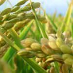 Bangladesh: Nate 4 nuove varietà di riso