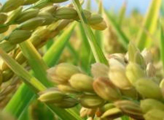 Cina: Allarme riso ogm