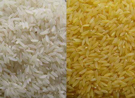Golden Rice, il riso transgenico