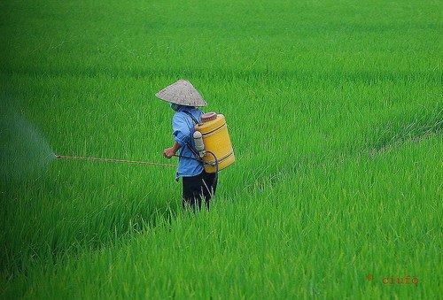 Giappone, nasce un riso resistente al sale