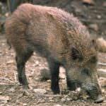 Confagricoltura: troppi i danni della fauna selvatica all'attività agricola