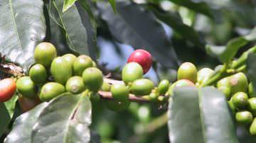 Tisana di caffè: antiossidante, antinfiammatoria