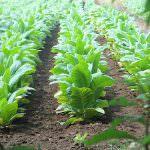 Tabacco, la Cia: difesa dei redditi e dell'occupazione