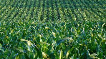 """Siamo così sicuri che """"OGM free"""" sia la strada giusta?"""
